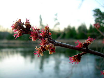 Poster featuring the photograph Red Maple Buds At Dawn by Kent Lorentzen