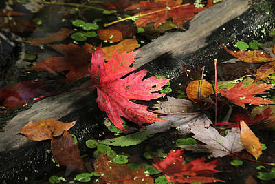 Poster featuring the photograph Red Maple Leaf In Pond by Doris Potter