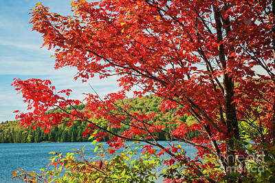 Red Maple On Lake Shore Poster by Elena Elisseeva