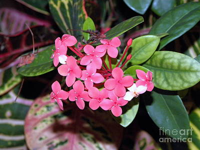 Poster featuring the photograph Red Maui Ixora by Terri Mills