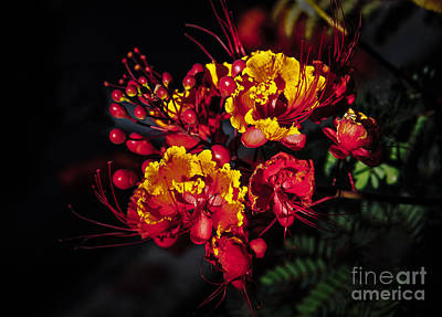 Red Mexican Bird Of Paradise Poster by Robert Bales