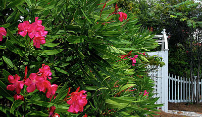 Poster featuring the photograph Red Oleander Arbor by Marie Hicks