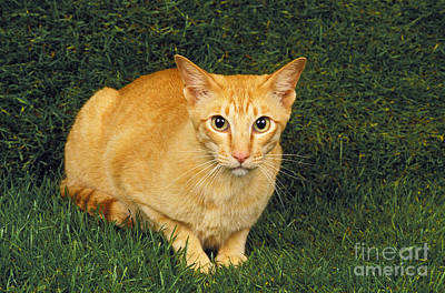 Red Oriental Cat Laying On Grass Poster by Gerard Lacz