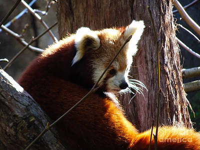 Poster featuring the photograph Red Panda by Angela DeFrias