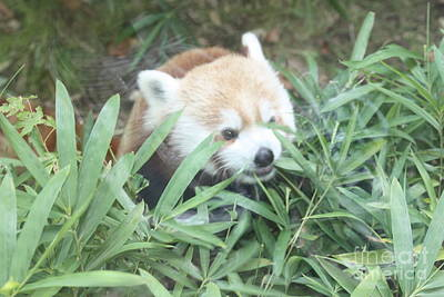 Red Panda Hiding Poster by John Telfer