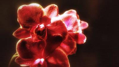 Poster featuring the photograph Red Phalaenopsis by Isabella F Abbie Shores FRSA