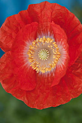 Red Poppy Poster by Robert Harshman