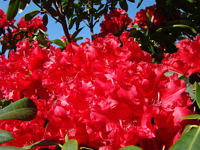 Red Rhododendron Flowers Floral Art Prints Baslee Poster by Baslee Troutman