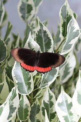 Red Rim Butterfly Poster