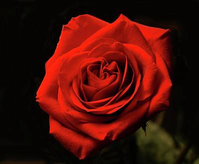 Red Rose At Night Poster