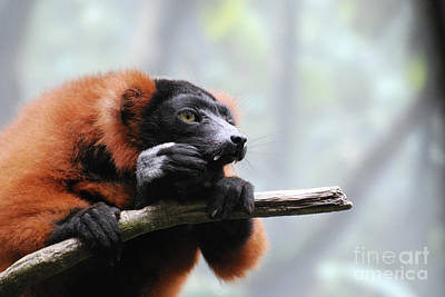 Red Ruffed Lemur With Long Fangs Clinging To A Branch Poster