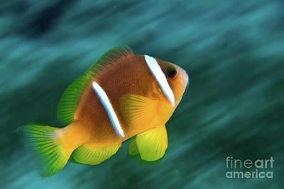 Red Sea Clownfish  Poster by Hagai Nativ