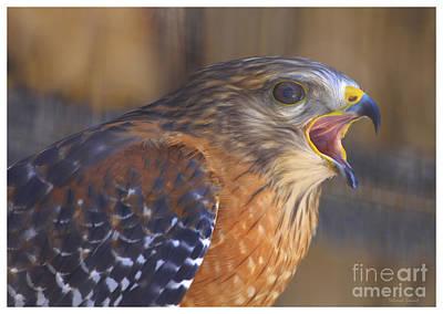 Red Shoulder Hawk Poster