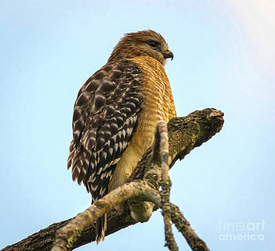 Red-shouldered Hawk - Buteo Lineatus Poster