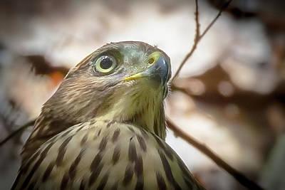 Red-shouldered Hawk Fledgling 3 Poster