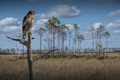 Red Shouldered Hawk In The Florida Everglades Poster by Randall Nyhof