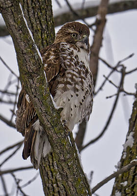 Red Shouldered Hawk - Madison - Wisconsin Poster