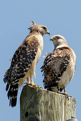 Red-shouldered Hawks Making Out Poster by Phil Stone