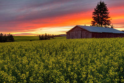 Red Sky Over Canola Poster by Mark Kiver