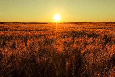 Red Sky Wheat Poster by Todd Klassy