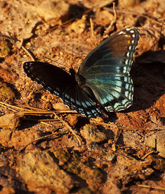 Red Spotted Admiral  Poster