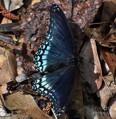 Poster featuring the photograph Red Spotted Purple Admiral by Skip Willits