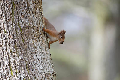 Red Squirrel Climbing Down A Tree Poster