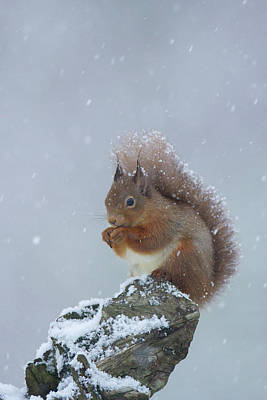 Red Squirrel In A Blizzard Poster