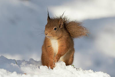 Poster featuring the photograph Red Squirrel In The Snow by Karen Van Der Zijden