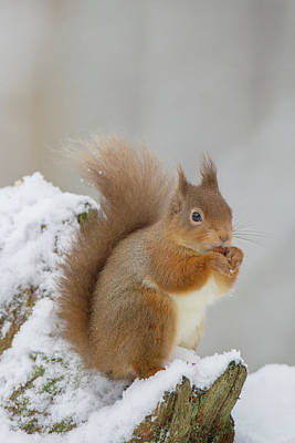 Red Squirrel In The Snow Side On Poster