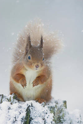Red Squirrel In Winter Poster