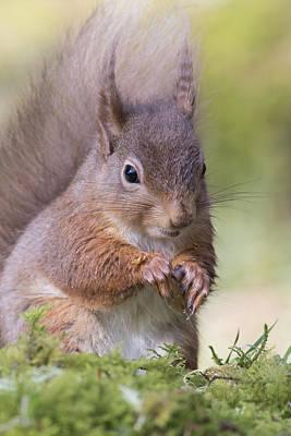 Red Squirrel - Scottish Highlands #1 Poster