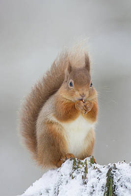Red Squirrel Nibbling A Hazelnut In The Snow Poster
