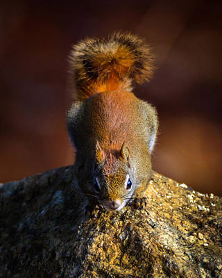 Red Squirrel On A Rock Poster