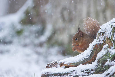Red Squirrel On Snowy Stump Poster
