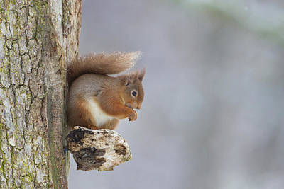 Red Squirrel On Tree Fungus Poster