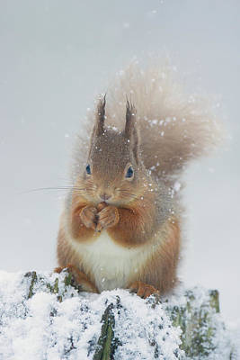 Red Squirrel With Snowflakes Poster