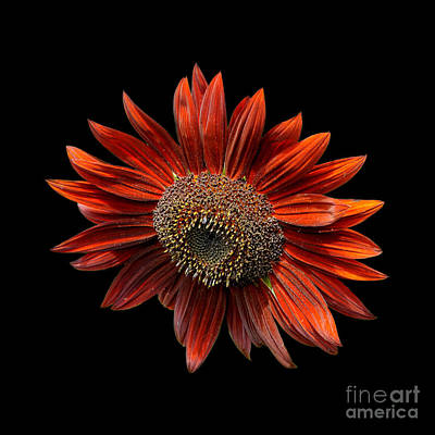 Red Sunflower On Black Poster