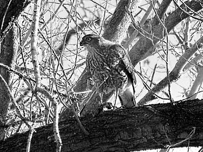 Red Tail Hawk In Black And White Poster