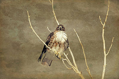 Red Tail Hawk  Poster by Jennie Marie Schell