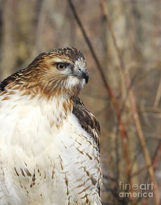 Red-tail Hawk Profile Poster