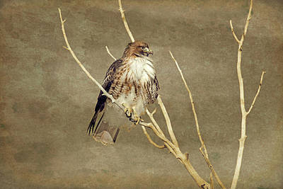 Red Tail Hawk Watching Poster by Jennie Marie Schell