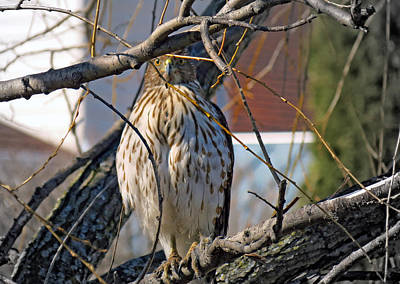 Red Tail Hawk Watching Poster by Kay Novy
