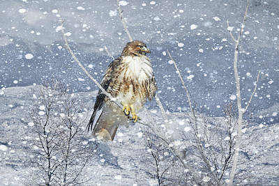 Red Tail Hawk Winter  Poster by Jennie Marie Schell