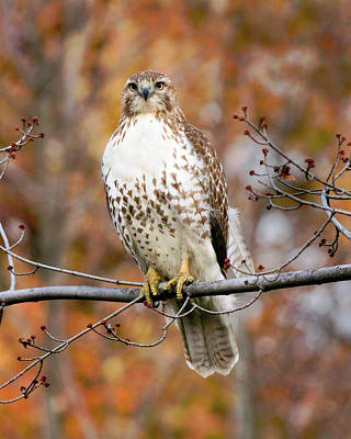 Red Tail In Autumn Glory Poster