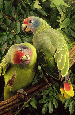 Red-tailed Amazon Amazona Brasiliensis Poster