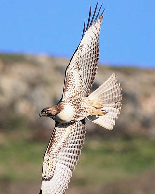 Red Tailed Hawk - 20100101-8 Poster by Wingsdomain Art and Photography