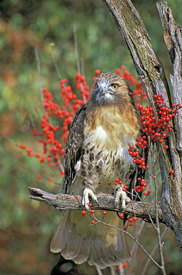 Red Tailed Hawk 1 Poster by Mike Goldstein