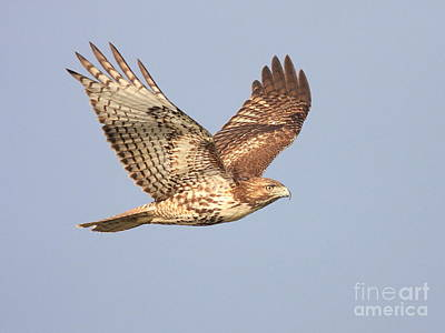 Red Tailed Hawk 20100101-1 Poster by Wingsdomain Art and Photography