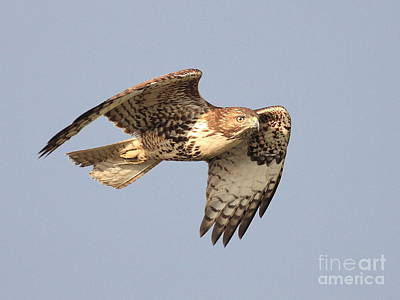 Red Tailed Hawk 20100101-2 Poster by Wingsdomain Art and Photography